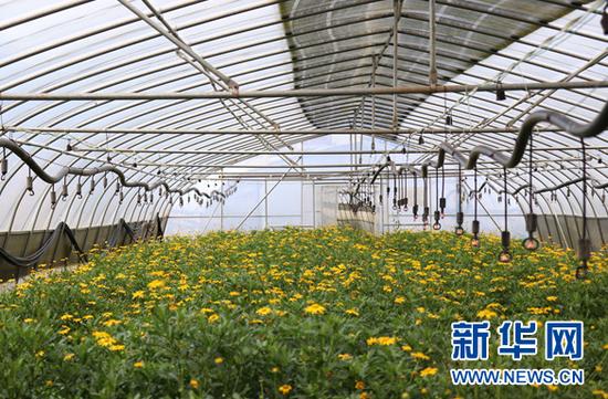 9月8日,中井村鲜花基地种植的木春菊。新华网发(杨盼 摄)