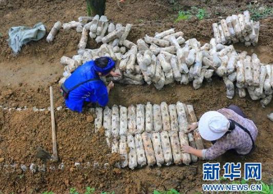 在黔西南州兴义市洒金街道林下菌药产业种植基地,易地扶贫搬迁群众正在放置菌棒(6月17日摄)。新华社记者 郑明鸿 摄