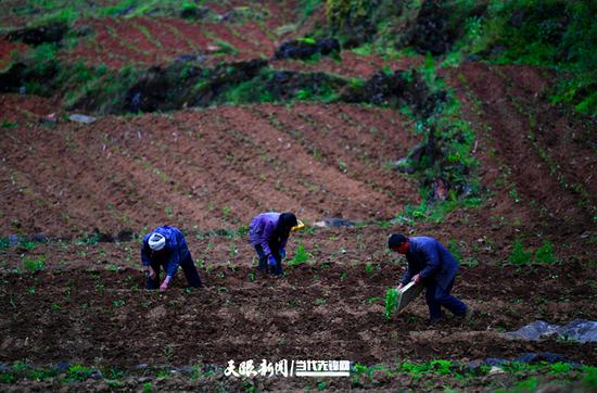 万里村村民正在栽种辣椒苗