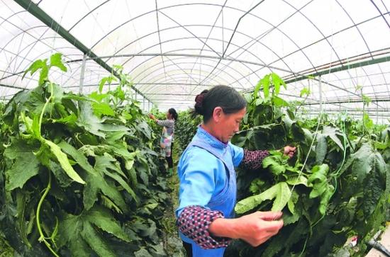 图为村民在长顺县代化镇贵阳蔬菜保供基地务工。
