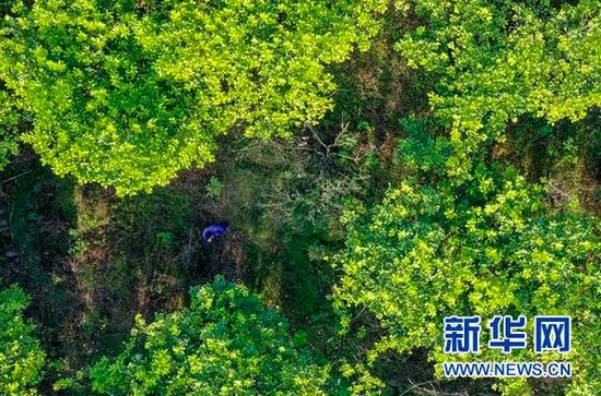 宋光平走在家旁边的蜜柚林里。(无人机照片,新华社记者欧东衢2021年4月21日摄)