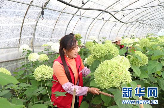 9月8日,工人在中井村鲜花基地采摘安娜贝拉绣球花。新华网发(杨盼 摄)