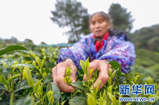 2月27日,翁台村妇女在采摘春茶。新华社发(雷磊波 摄)