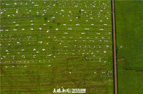 黄平上塘镇木江村萝卜基地里,村民们正在忙碌着