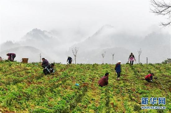 3月1日,农民在贵州省铜仁市德江县楠杆乡小寨村的茶叶基地里移栽茶苗。新华社记者 杨文斌 摄