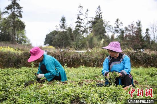 图为贵州三都县村民们家门口种植南板蓝根产业。刘鹏 摄