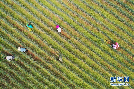 3月23日,黔西县锦星镇庆民村村民在大葱种植基地劳作(无人机照片)。新华社记者 杨楹 摄