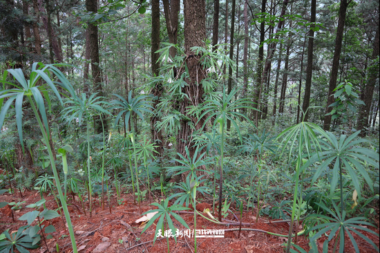 林下种植的天南星、岩笋(黄瑶 摄)