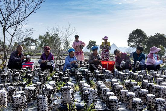 """3.6万亩食用菌大丰收,菌农采摘忙,安龙县——以""""菌"""