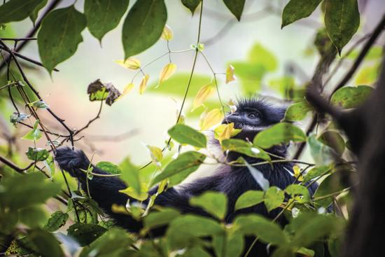 在樹上的黑葉猴。