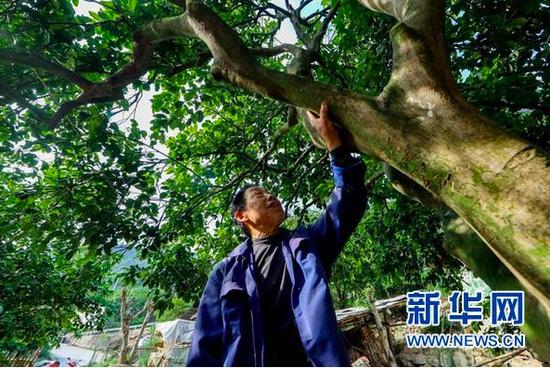 宋光平在查看30多年前父亲从江西老家带回来并亲手栽下的柚子树的生长情况。(新华社记者欧东衢2021年4月21日摄)