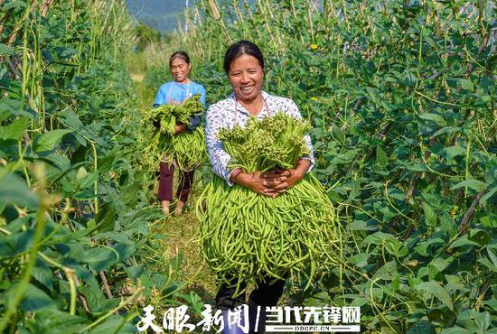 榕江县古州镇群众在搬运豇豆 刘进银 向泽周摄