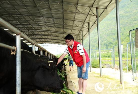 村支书石鹏正在喂牛。李宇摄