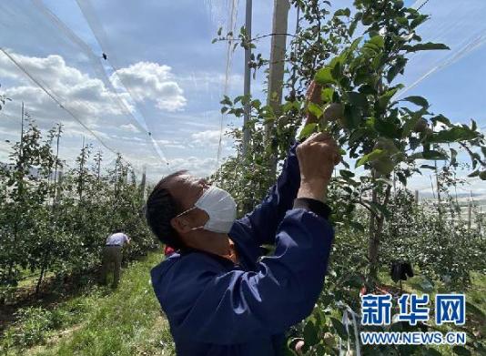 村民彭文才给果树疏果(6月17日摄)。新华社记者 向定杰 摄