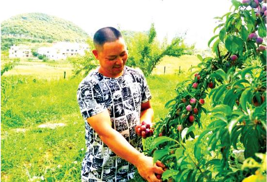 观山湖区朱昌镇赵官村脆红李即将上市。