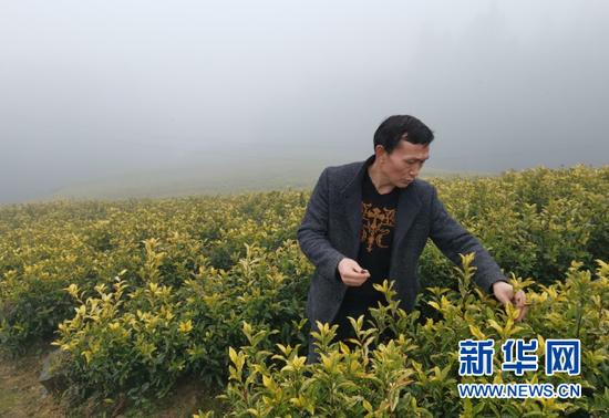 红阳村盛丰茶叶农民专业合作社负责人正在查看黄金芽长势。新华社记者汪军摄