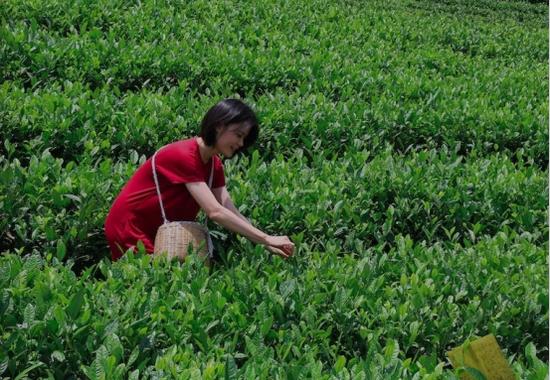 台中广播公司节目部组长刘淑雯尝试手工采茶