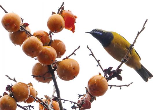 7日,在贵阳的贵州省植物园内,柿子树上吸引不少鸟儿前来啄食、嬉戏。 乔启明 摄