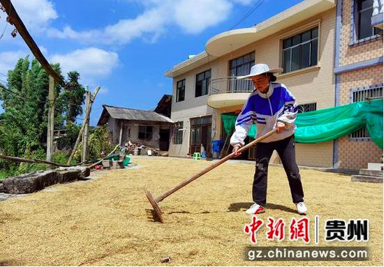 贵州金沙:8.3万亩水稻迎丰收