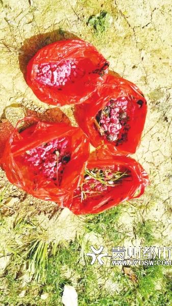 摘除到的一袋袋福寿螺卵。