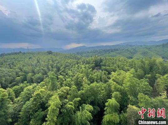 赤水竹海國家森林公園的翠綠竹林?!⑽奈?攝