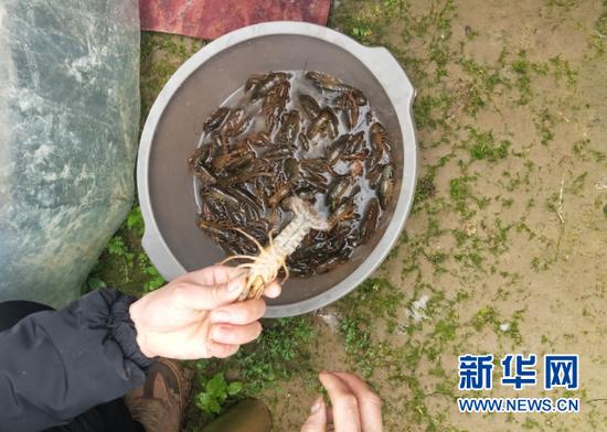 下坝村小龙虾基地负责人向记者展示基地饲养的小龙虾。新华社记者吴思摄