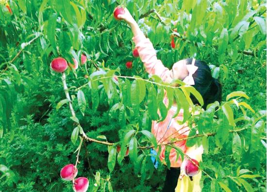 开阳县花梨镇大红桃熟了。