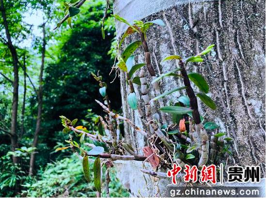 贵州金沙:铁皮石斛铺就绿色致富路