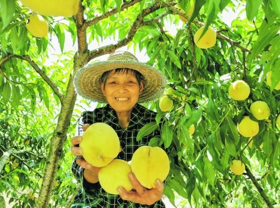 图为农户采摘黄桃。
