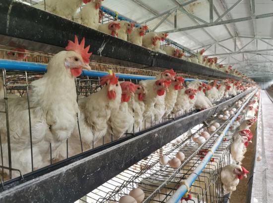 养殖场内的蛋鸡