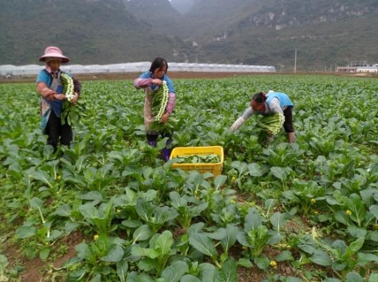 黔西南州种植130万亩蔬菜助推农