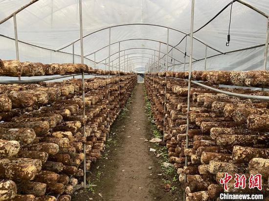 图为大棚食用菌产业。 刘鹏 摄