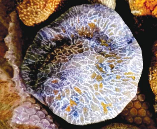 链珊瑚,产于志留纪地层。产地:桐梓县。