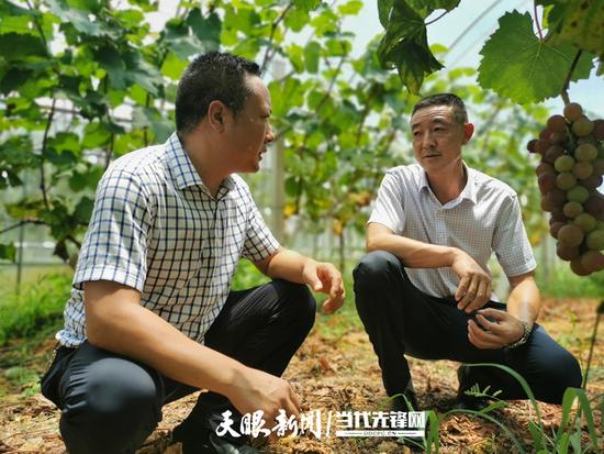 在镰刀湾葡萄种植基地,吴世渊询问负责人今年葡萄的销售情况