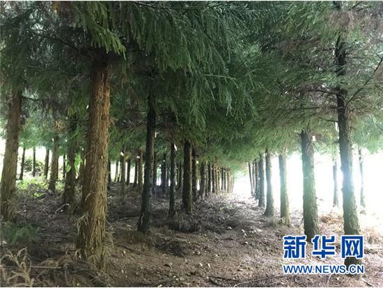 关口村的碳汇林。新华社记者 施钱贵 摄