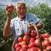 吃西红柿要注意这3点