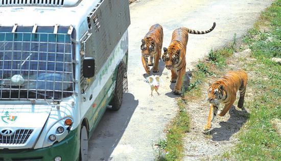 从观光车里扔出一只鸡,三只老虎在车下争抢