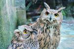 遵义非法运输重点保护动物案追踪:30余只雕鸮或送返