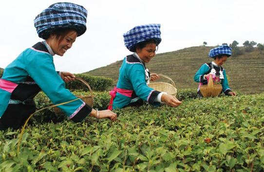 春芽争长,翠绿的茶叶被茶农们采摘于茶篮中