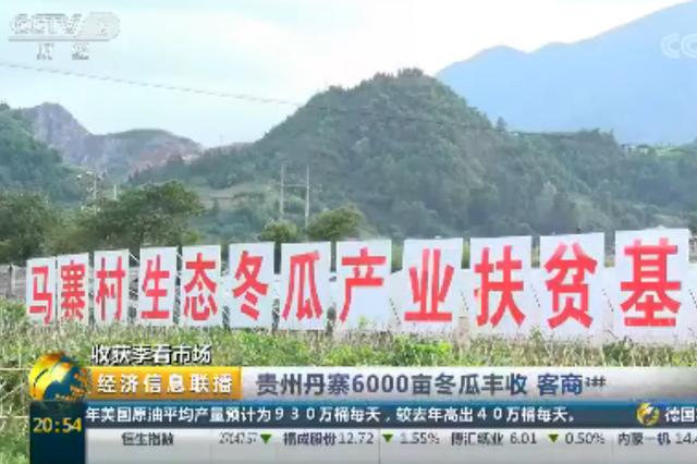 贵州丹寨:6000亩冬瓜丰收 客商进基地忙采购