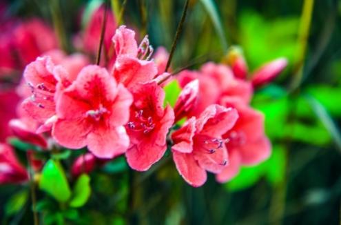 南山上粉红色的杜鹃花 陈亚林 摄