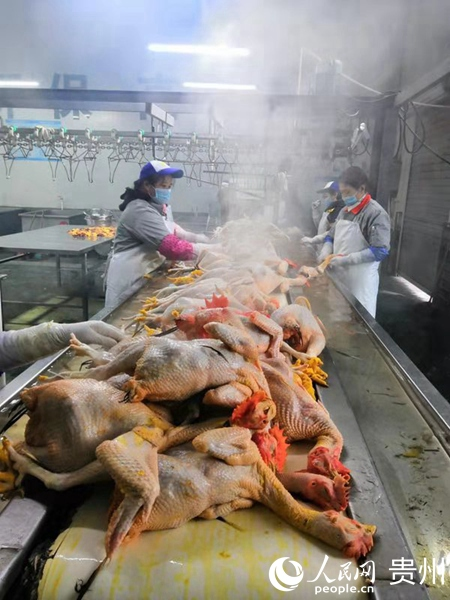 贵阳市家禽定点屠宰场--贵阳数字化禽蛋配送中心正在屠宰加工肉鸡,集中检疫,冷链配送上市