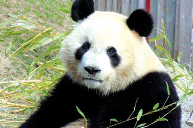大熊猫兄弟将入住贵阳黔灵山 预计今日抵达!