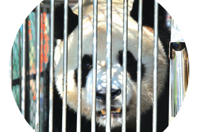 贵阳黔灵山:熊猫兄弟到贵阳 暂时休整不见客