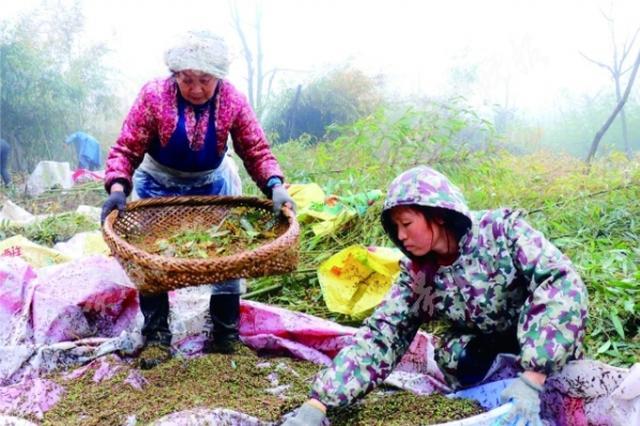 竹子开花 绥阳县太白镇村民为50余亩竹林先忧后喜