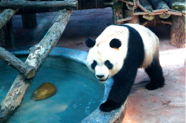 黔灵山公园大熊猫馆22日正式免费开放