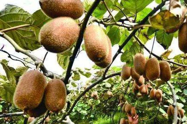 修文县猕猴桃 接受质量安全检查