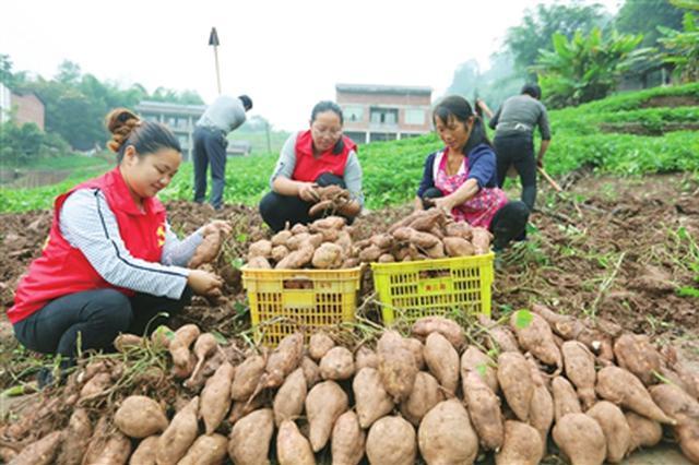 赤水红薯迎丰收 干群采收忙