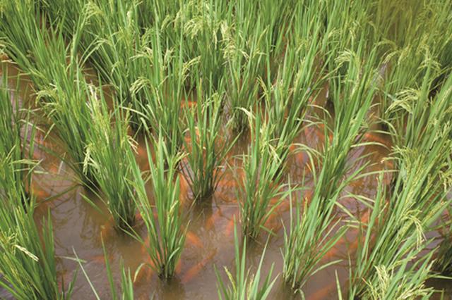 万福村800亩生态稻喜获丰收