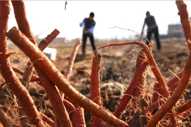 貞豐發展10萬畝丹參種植 及深加工項目